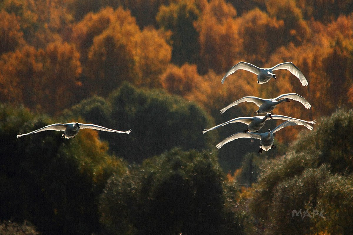 животные птицы лебеди шипуны озеро кандры-куль башкирия, Шангареев Марс