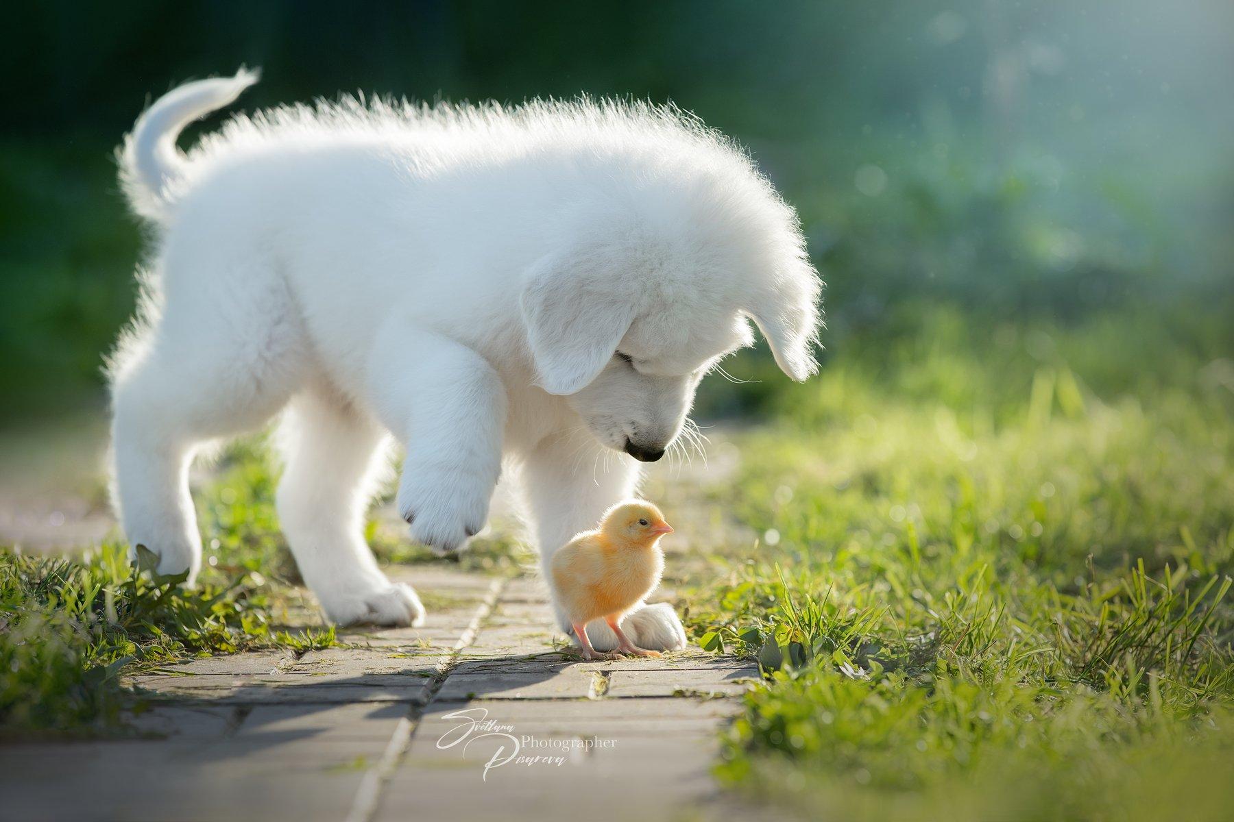 Милота:))) (Ни один цыпленок не пострадал) Писарева Светлана