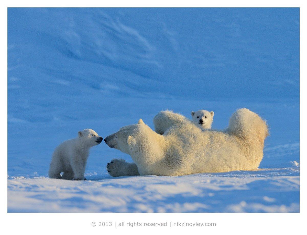 белая медведица, медвежата, дикая природа, арктика, канада, николай зиновьев, Николай Зиновьев