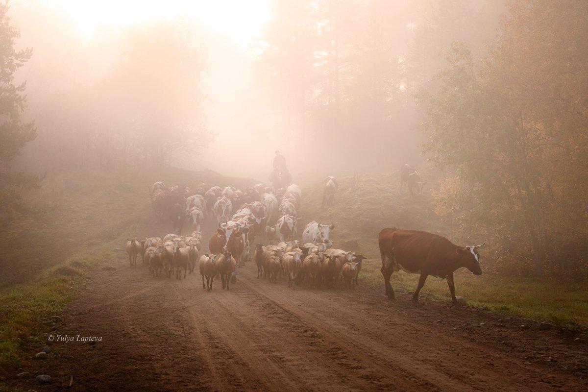 карелия,утро,рассвет,туман,пастух,красота,осень, Юлия Лаптева