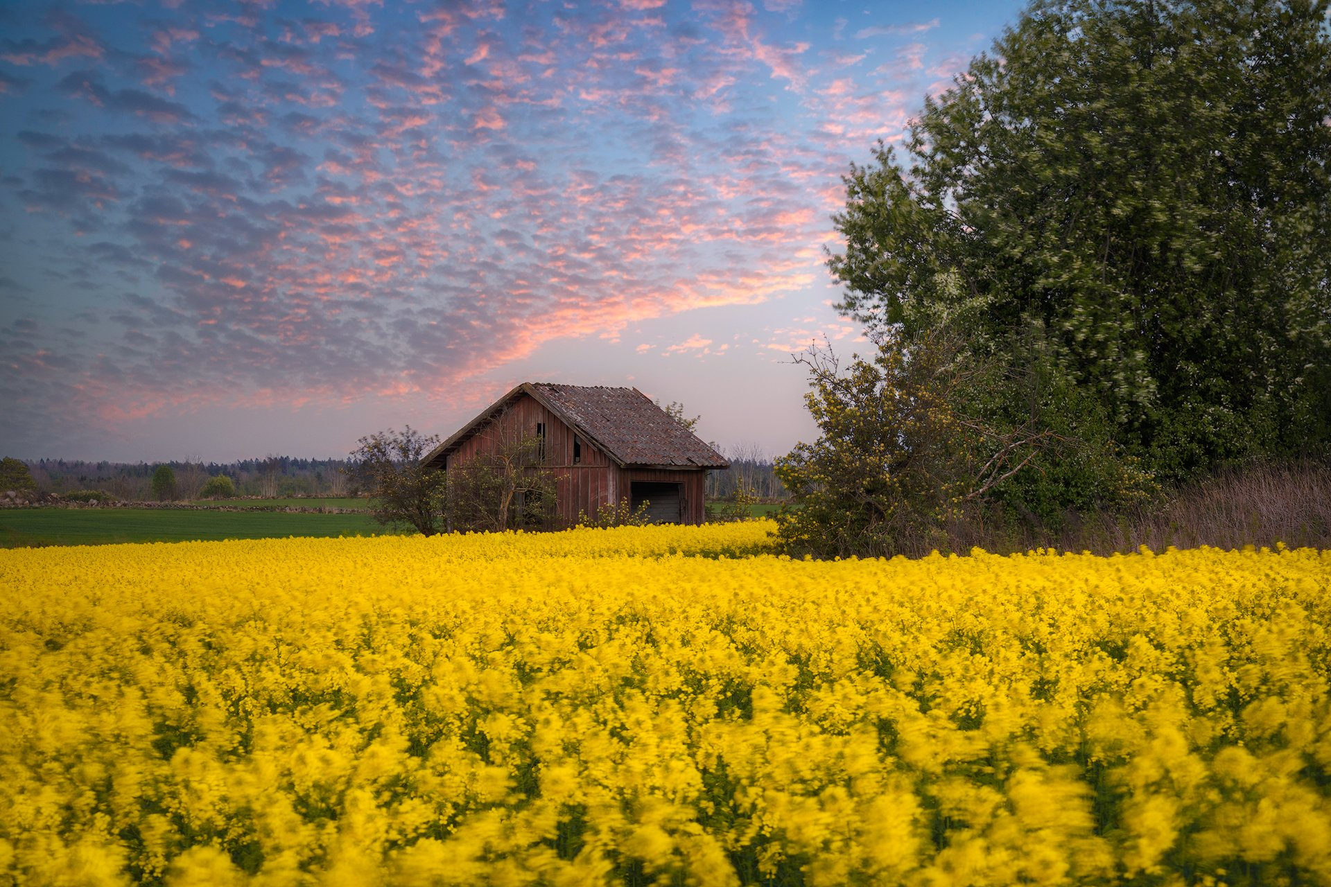 Barn, birdcherry, birdcherryflowers, birdcherrytree, Bushes, cabin, canola, Clouds, colza, Cottage, crib, dump, eveningmood, Farming, Fields, Hovel, Hut, kennel, lodge, outbuilding, rapeseed, rapeseedfield, Shack, Shanty, shed, stonefence, Stonewall, Yell, Ludwig Riml