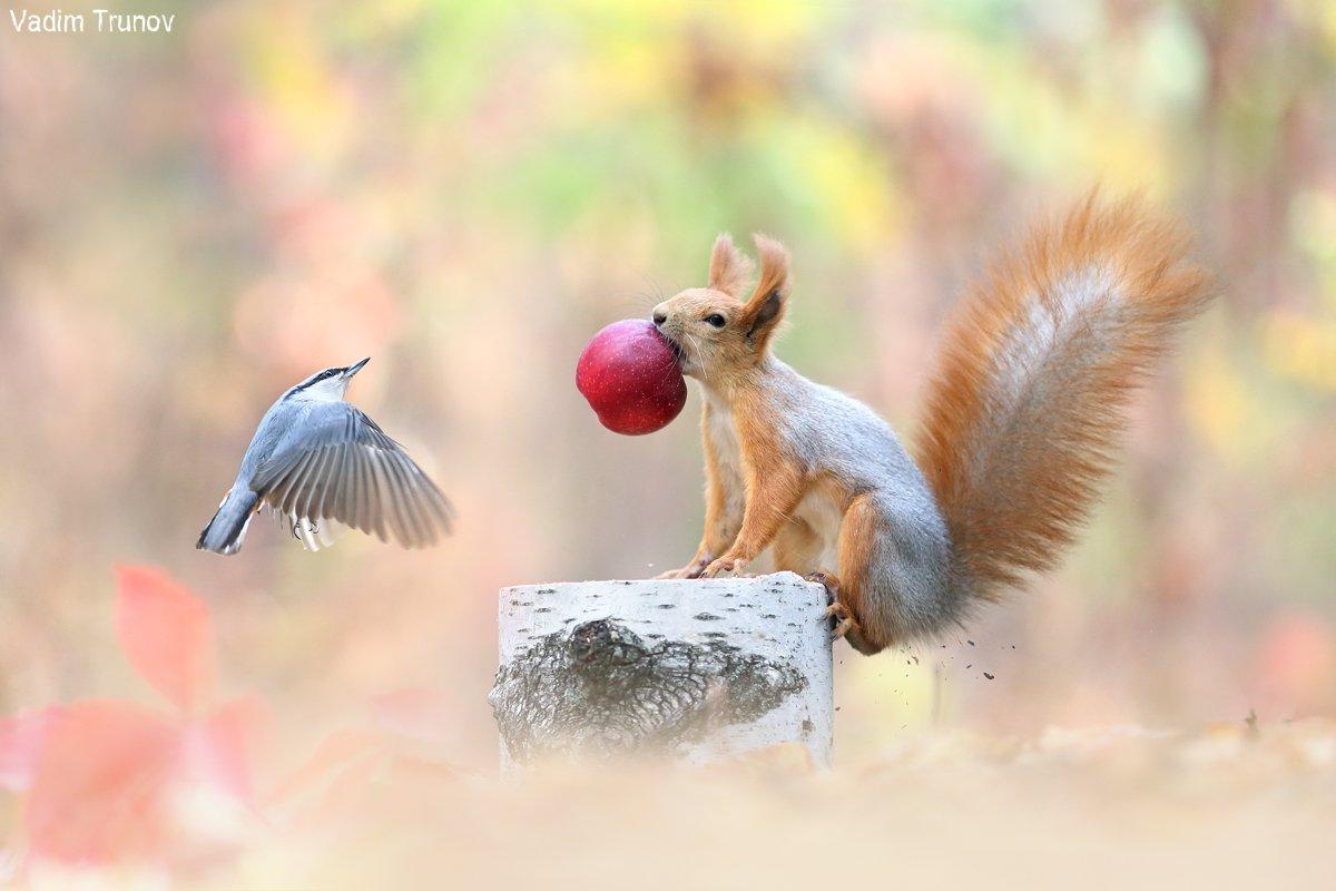 белка, squirrel, птица, яблоко, Вадим Трунов