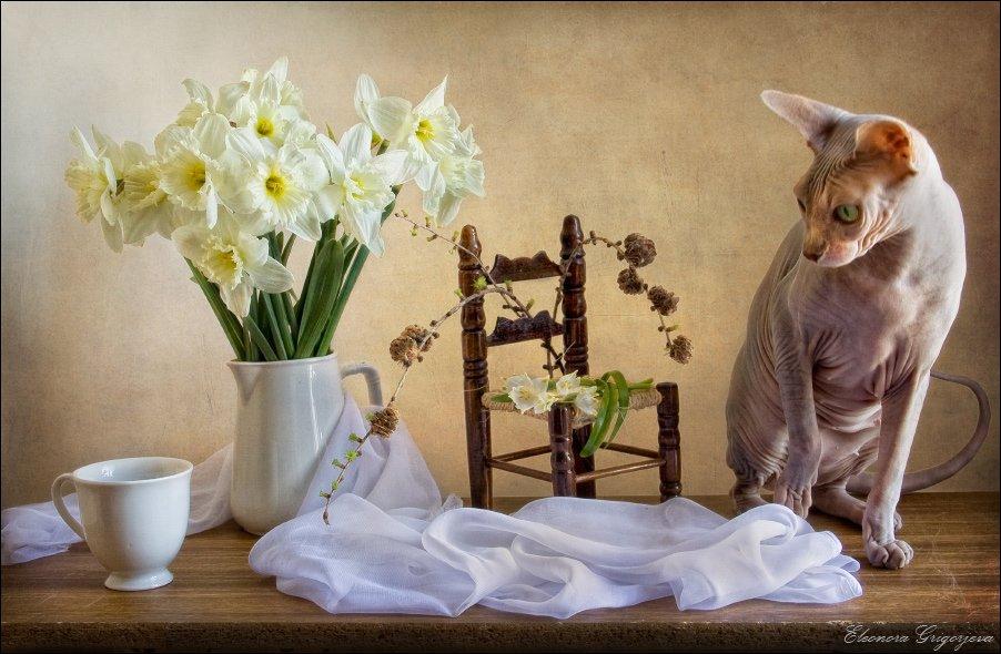 кошка, сфинкс, весна, нарцисс, цветы, Eleonora Grigorjeva