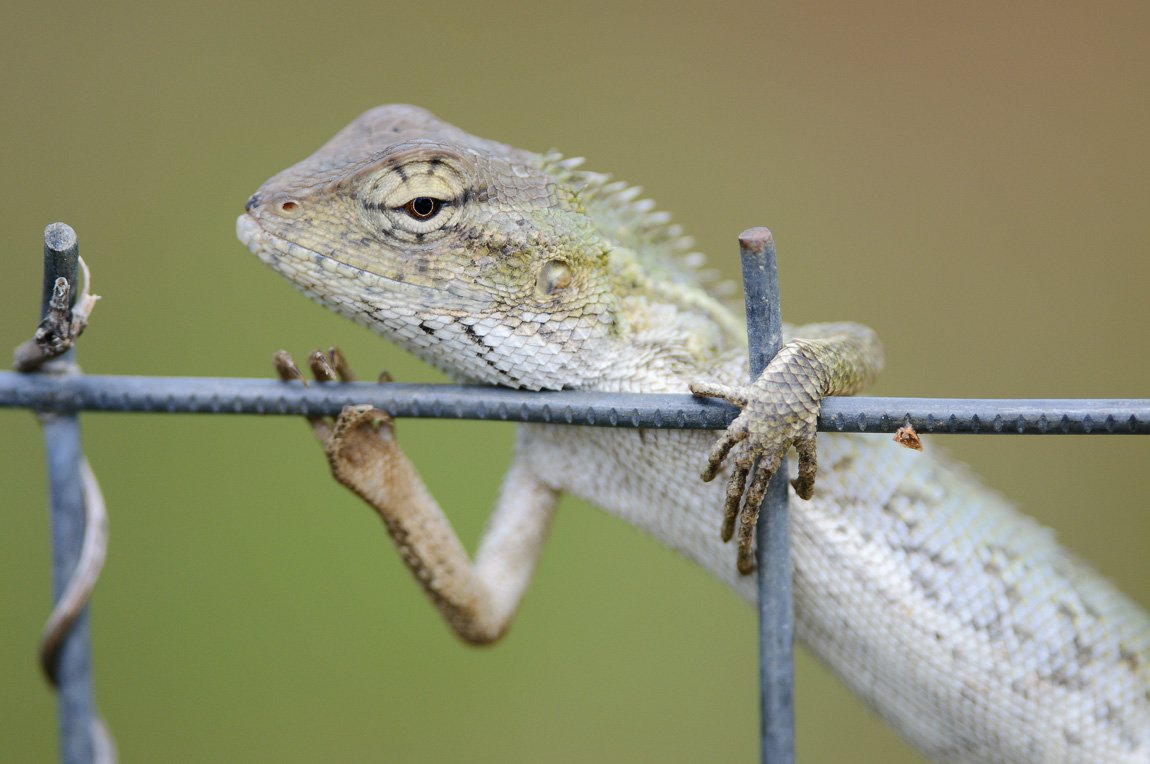 хамелеон, ящерица, животные, Александр Константинов