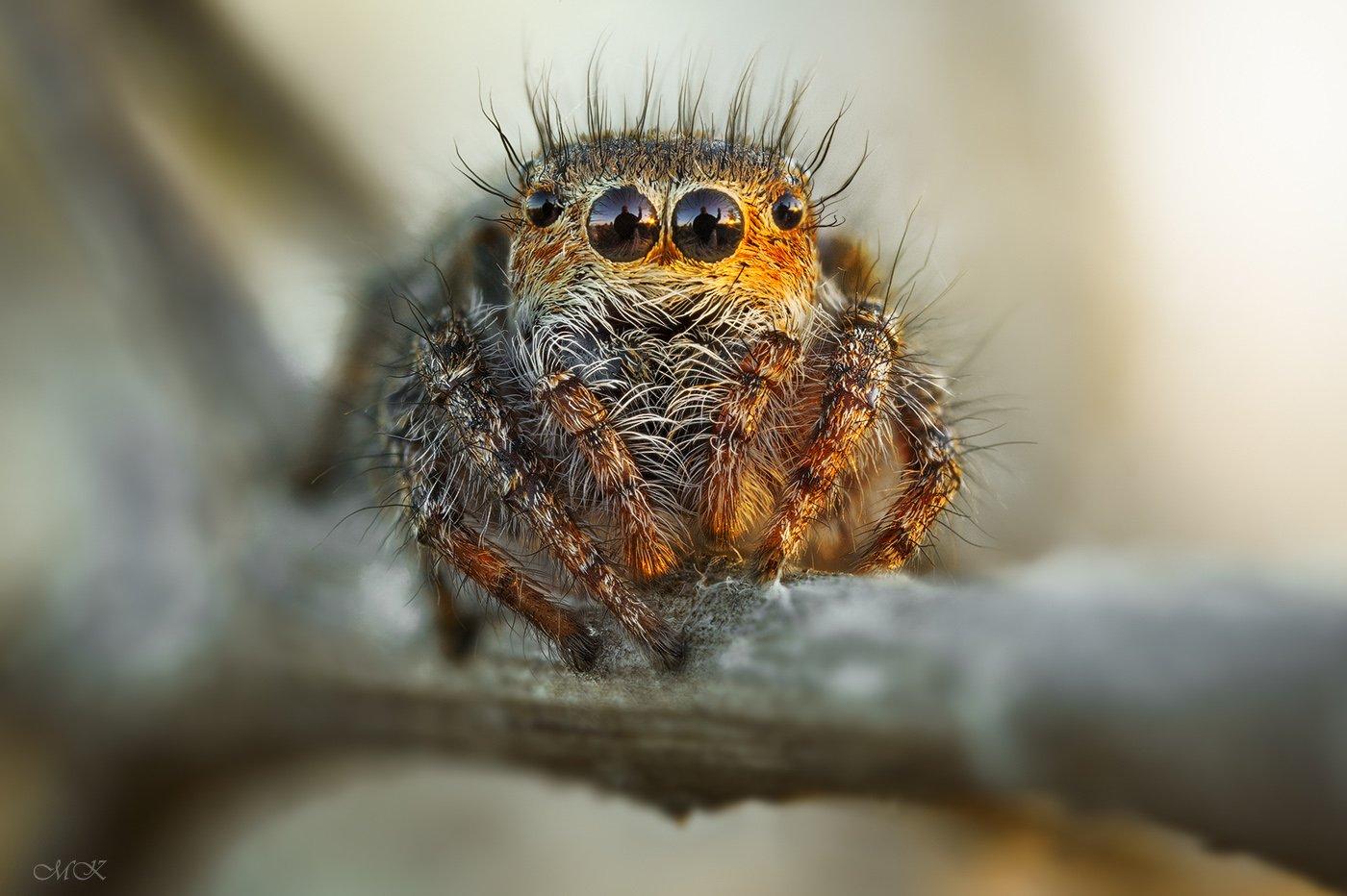 утренний, автопортрет, в, глазах, паука-скакуна, Miron Karlinsky