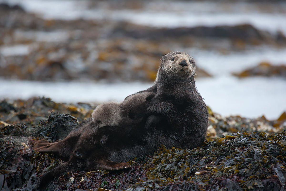 калан, щенок, остров беринга, морские млекопитающие, Дмитрий Уткин