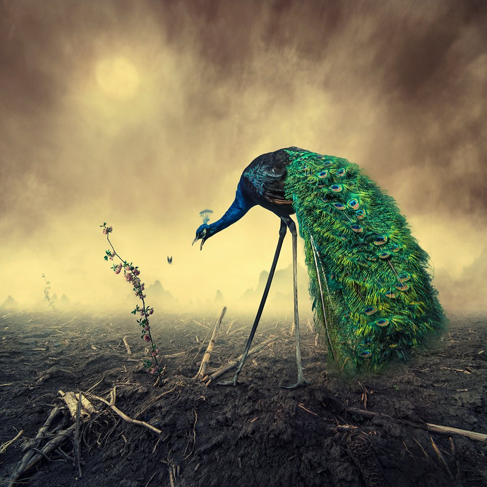 peacock, psd, tutorials, manipulation, photoshop, flower, green, eat, butterfly, carasdesign, mounting, ground, land, sky, clouds, mystery, walking, green, bird, light, Caras Ionut