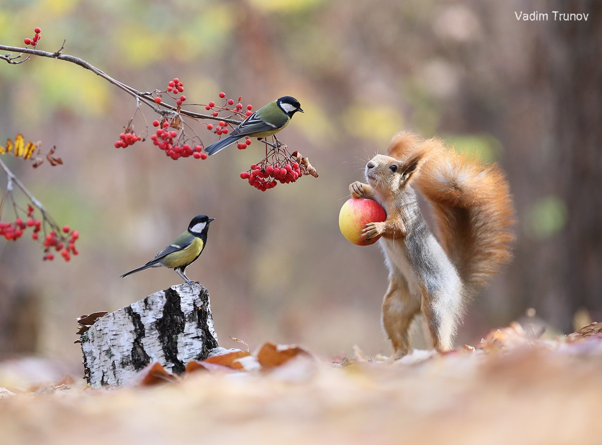 белка, squirrel, птица, яблоко, рябина, Вадим Трунов