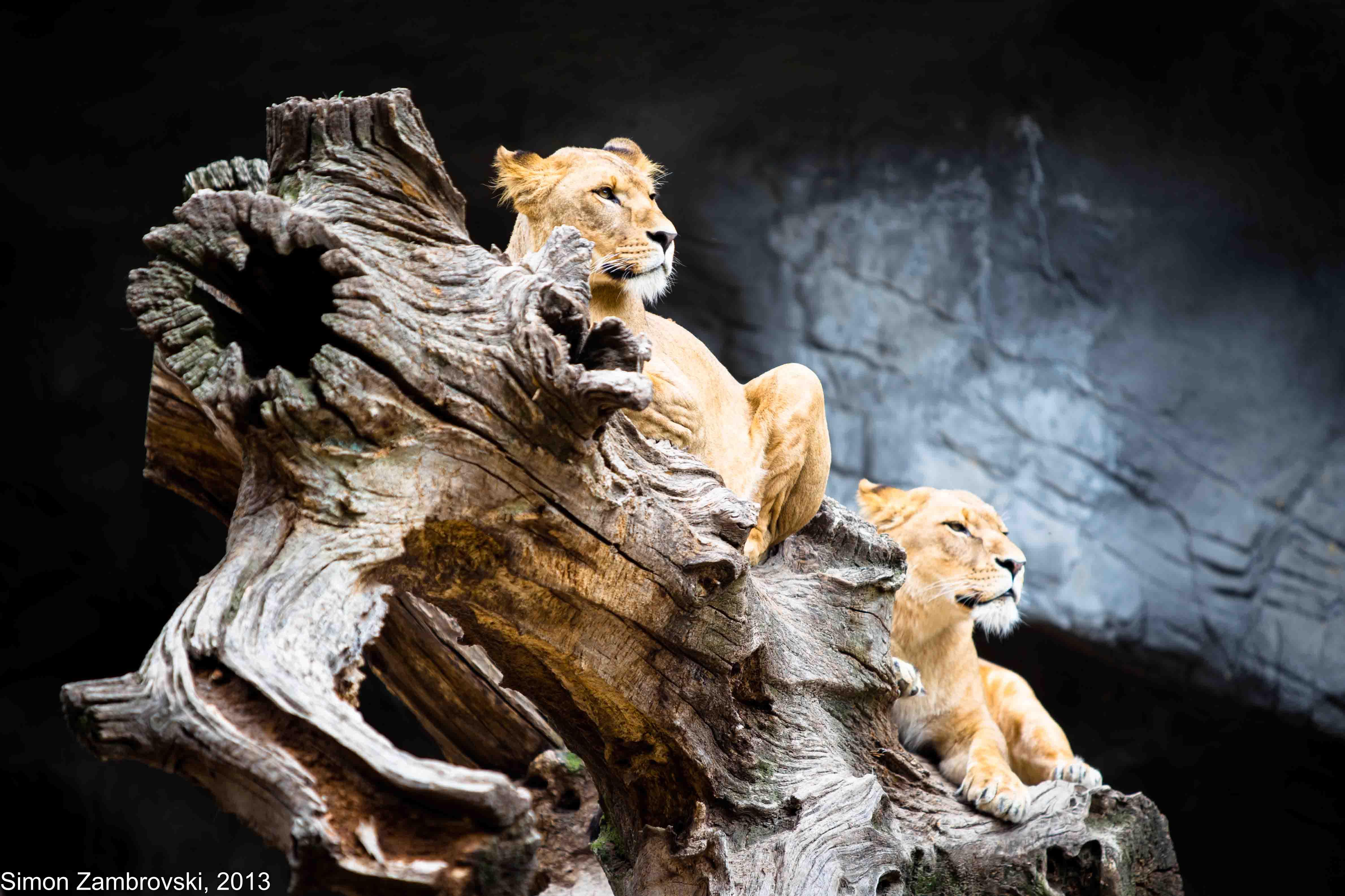 Hagenbeck, lion, Power, pride, Strong, Zoo, Увереность, Семён Замбровский