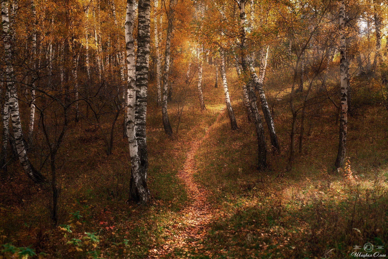 #осень, #фотографшацкаяольга, #алтай, #березы, #золотаяосень, Шацкая Ольга