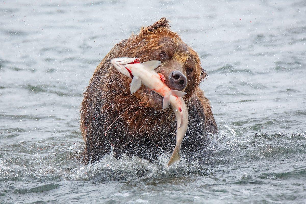 Камчатка, медведь, животные, природа, путешествие, фототур, , Денис Будьков