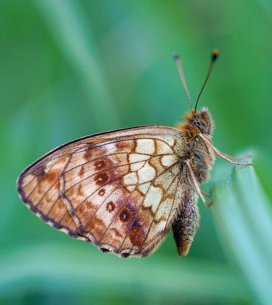 closeup, macro, макро, насекомое, шашечница, Alexey Gnilenkov