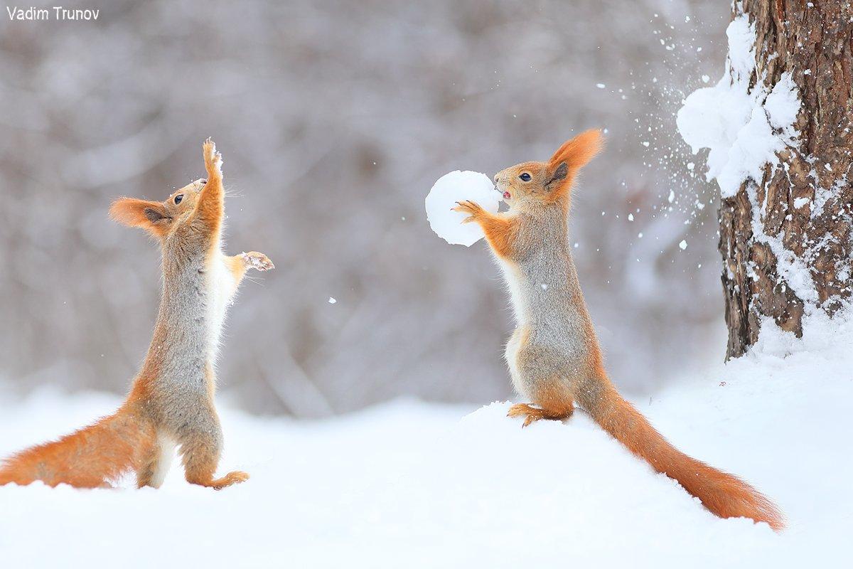 белка, squirrel, игра в снежки, Вадим Трунов