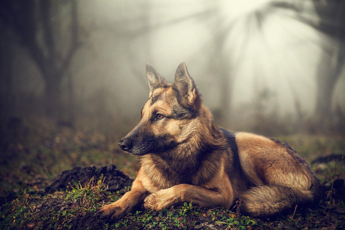 друг, лес, преданость, собака, туман, Иван Кривко