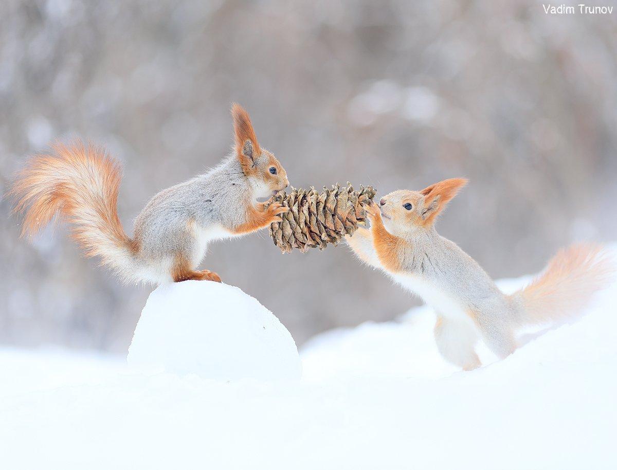 белка, шишка, squirrel, Вадим Трунов