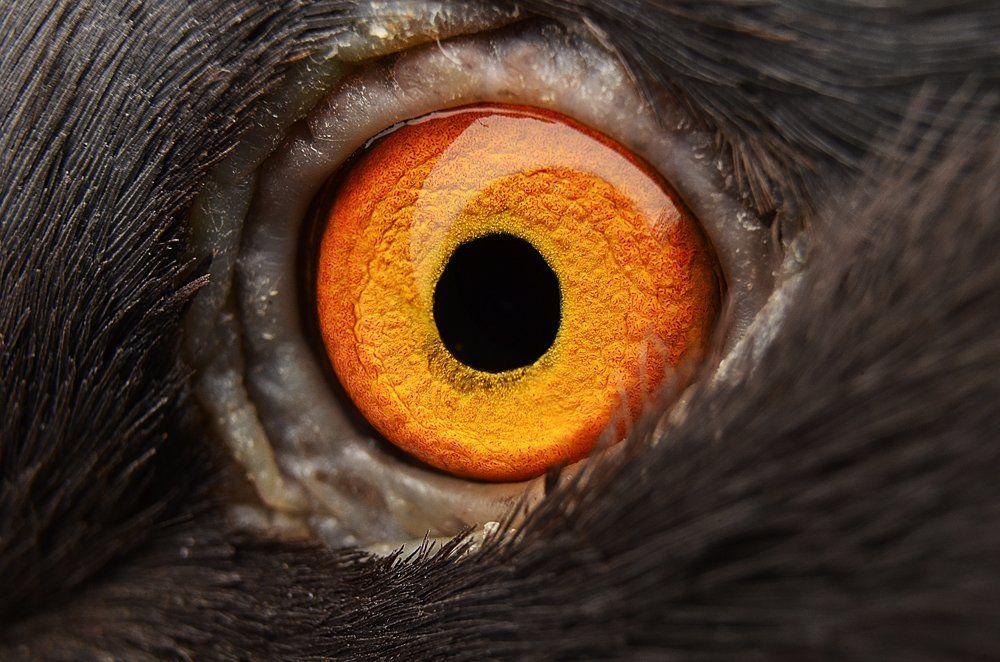 глаз, глаза, голубь, макро, оранжевый, Ренат Тугушев