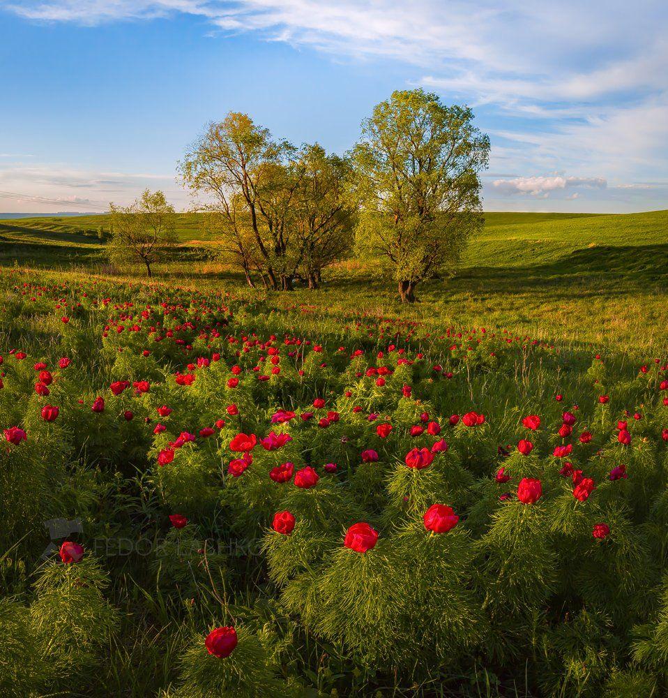 ставропольский край, открывая ставрополье, путешествие, природа, степь, трава, луг, флора, пион, воронец, пион узколистный, красный, воронец, ставропольская возвышенность, дерево, весна,, Лашков Фёдор