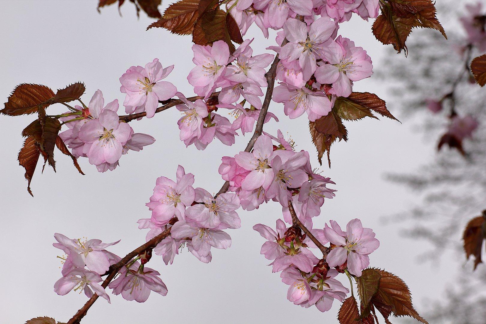 сакура цветок, Александр Зорин
