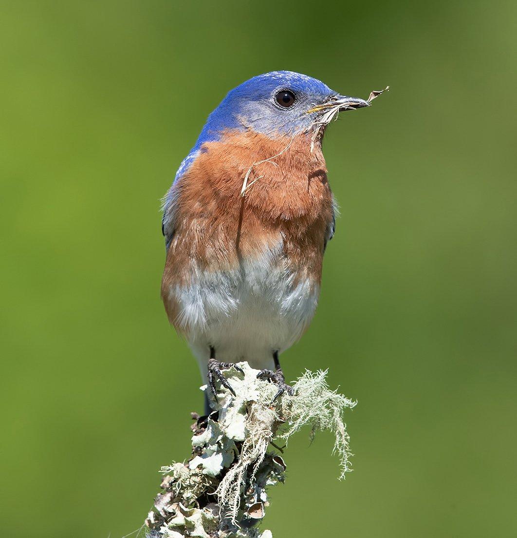 восточная сиалия, eastern bluebird, bluebird, Etkind Elizabeth