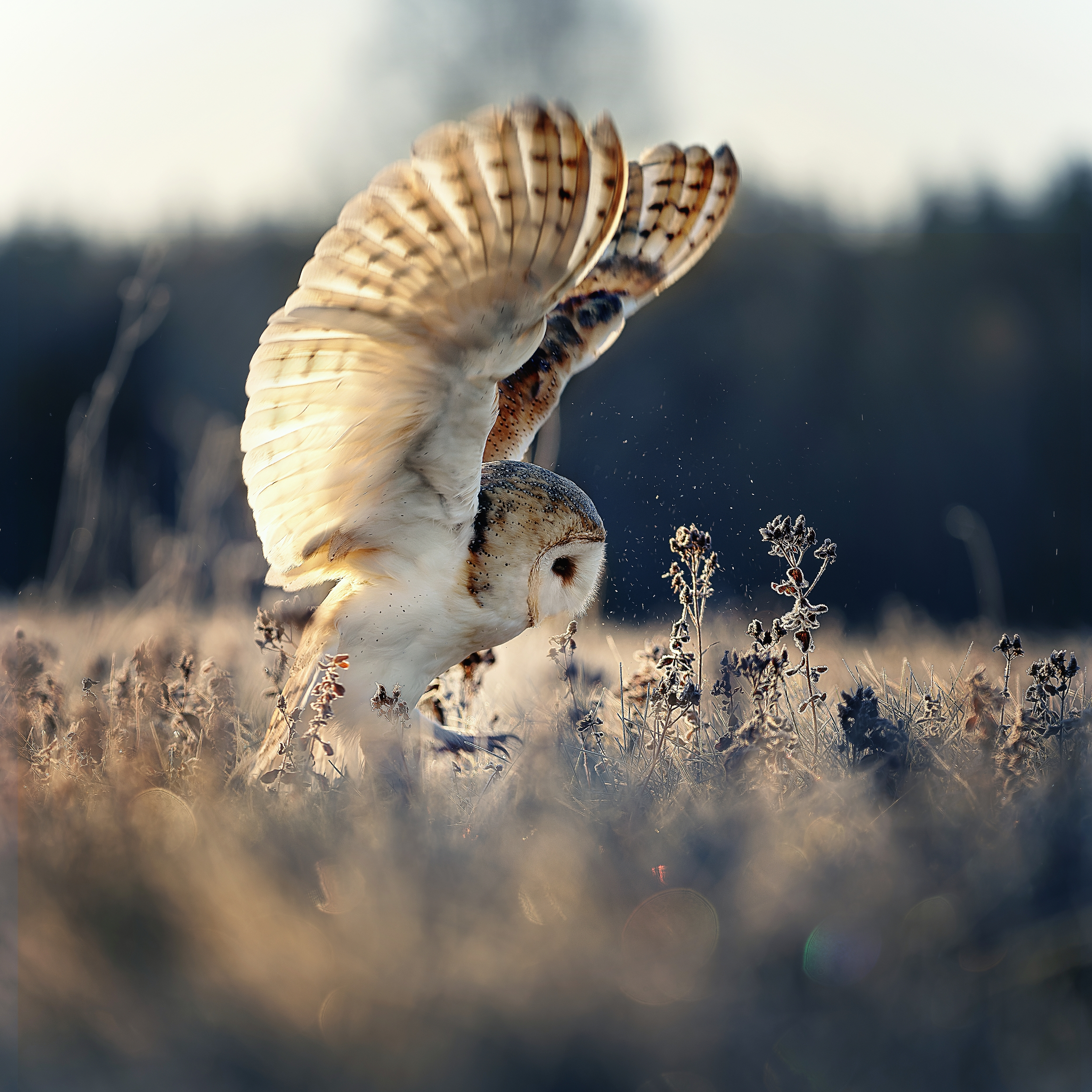 owl, winter, barn owl, wings, sunrise, Firešová Michaela