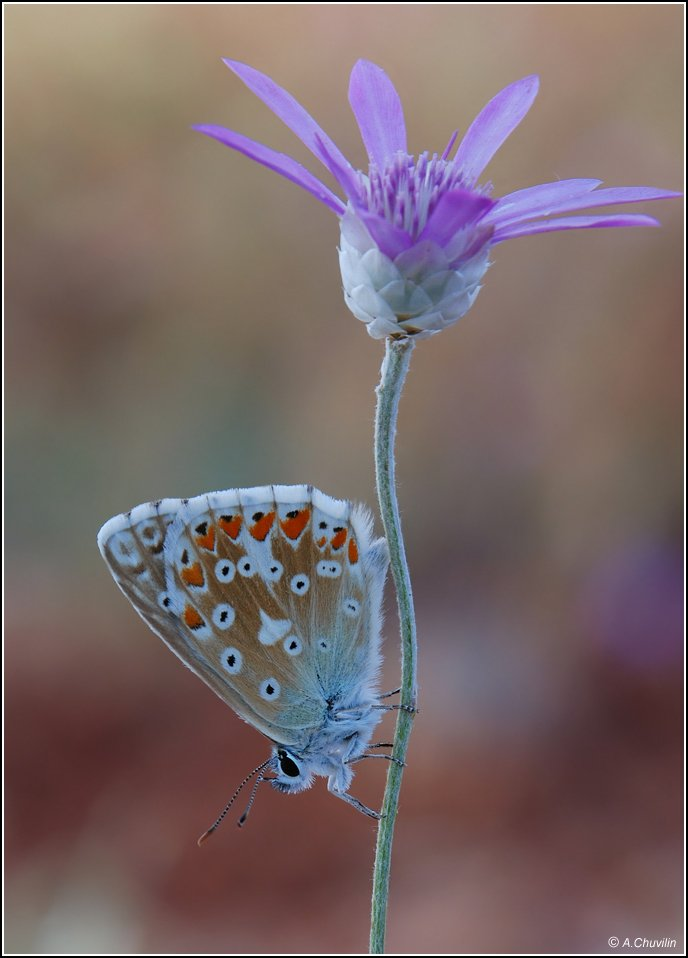 цветок,бабочка,армения, Александр Чувилин