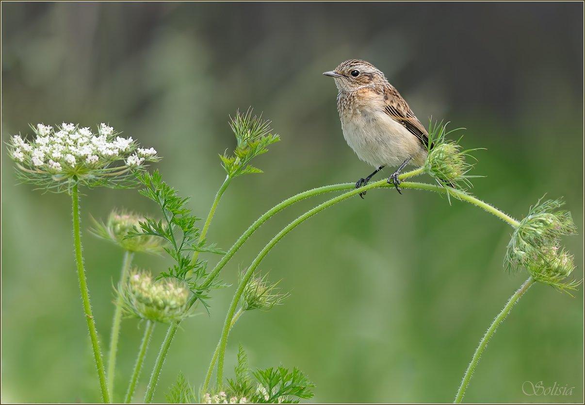 Saxicola rubetra, Лето, Природа, Птицы, Чекан луговой, Солисия