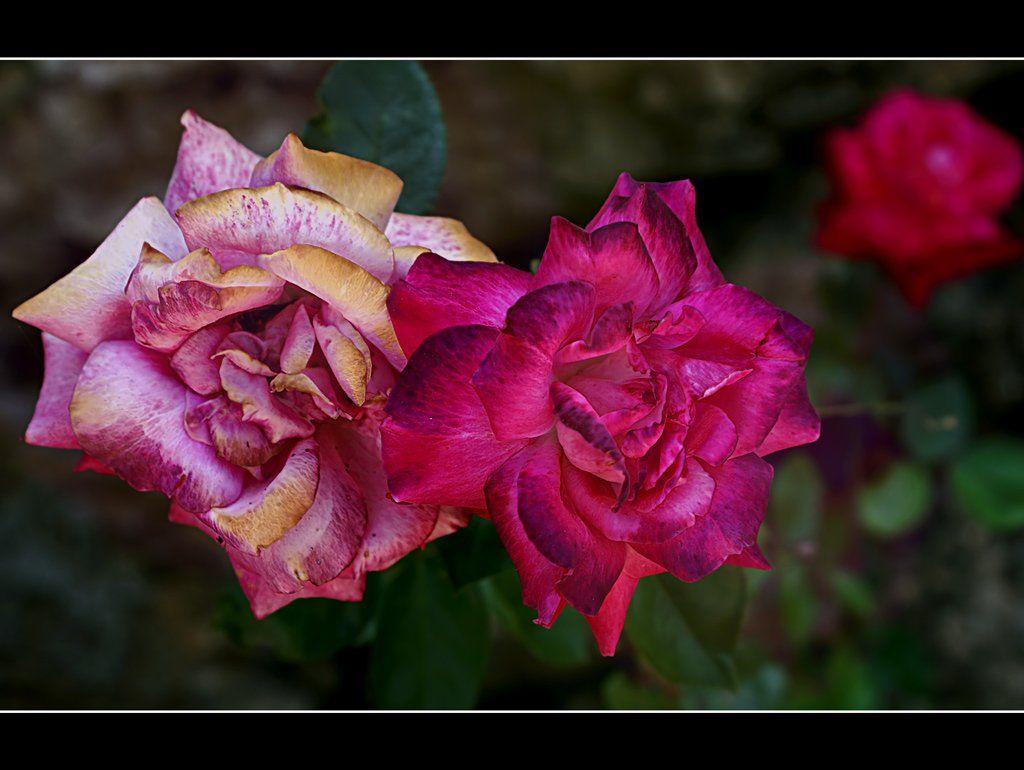 роза, Maria V. Gorskaya