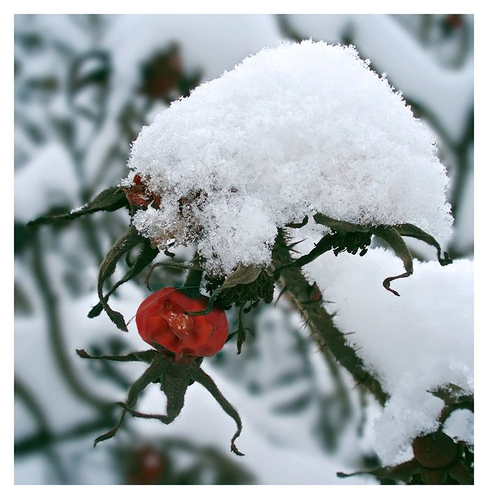 природа,флора,шиповник,зима,снег, Ольга Хлуднева