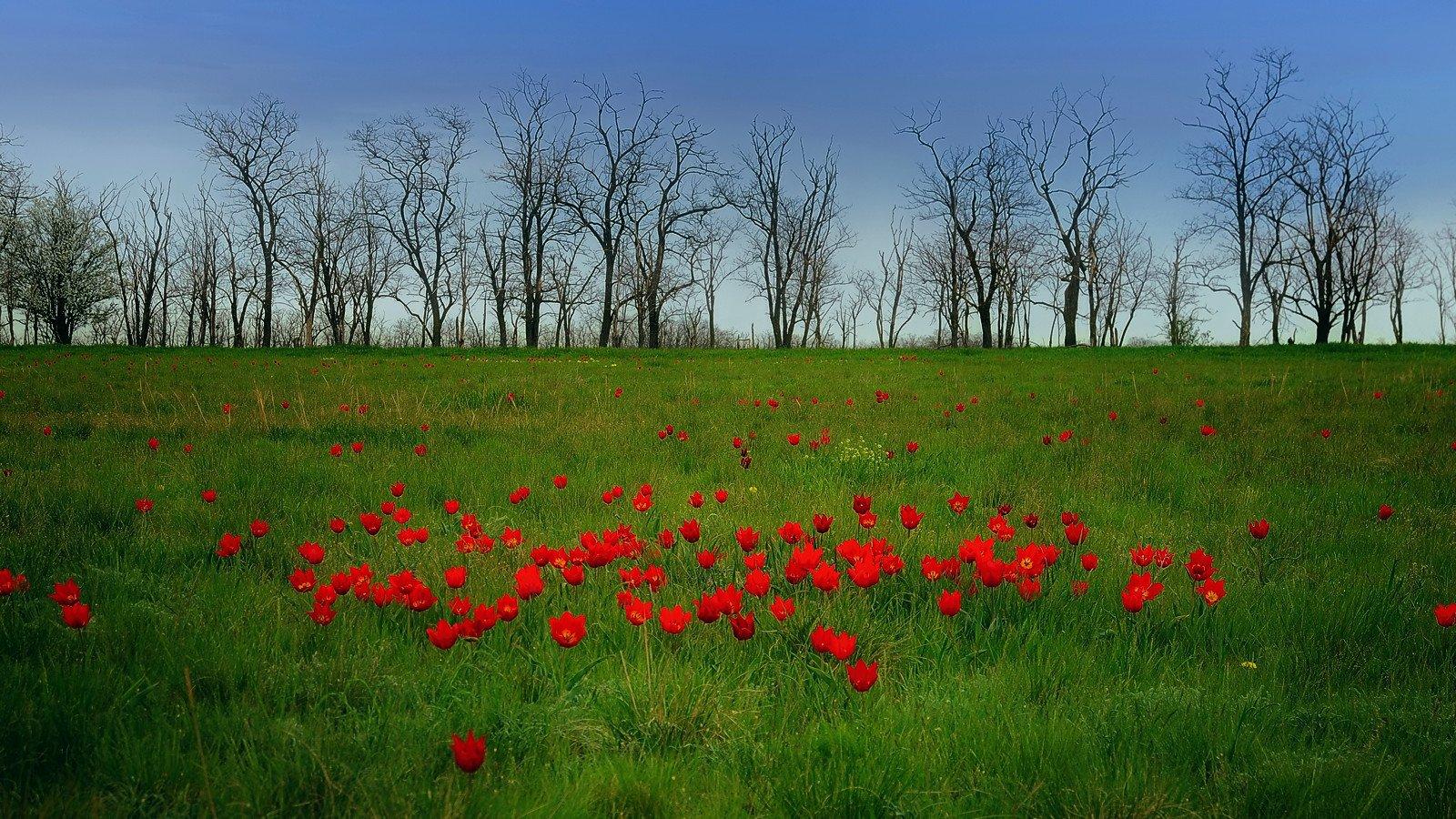 степь, весна, природа, тльпаны, пейзаж, Serj Master