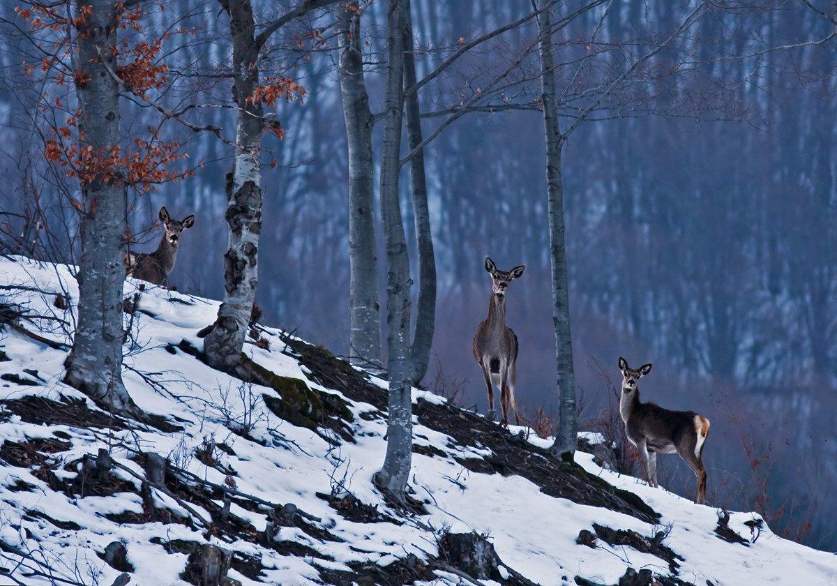 Bulgaria, Cervus elaphus, Благородный олень, Иван Иванов