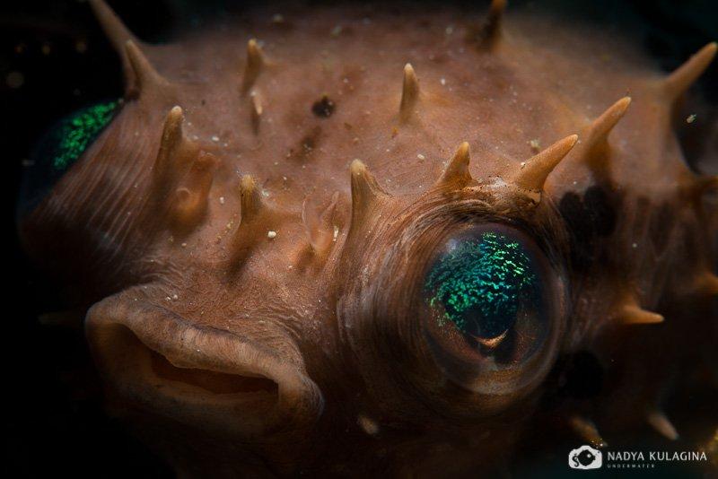 Иглобрюх, Макро, Подводная съемка, Подводное фото, Рыба, nadeika