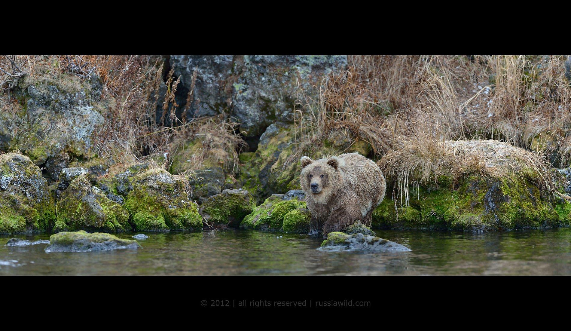 Дикая природа россии, Медведь, Медвежонок, Южно-камчатский заказник, Николай Зиновьев