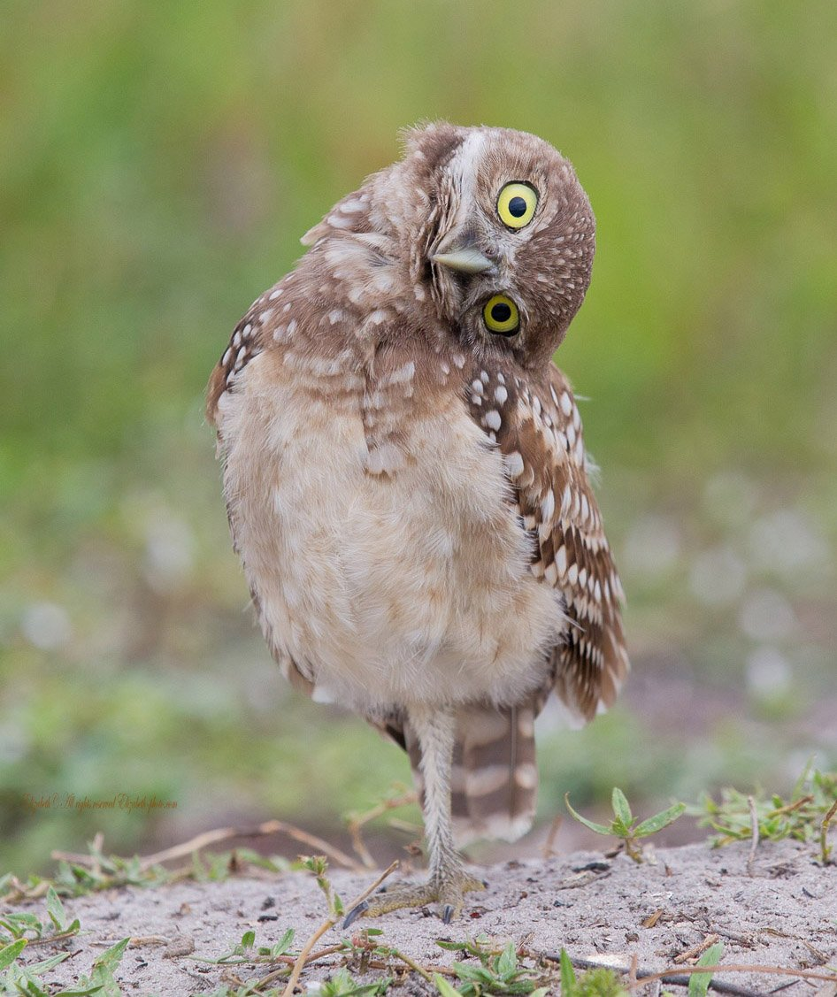 burrowing owl, florida, кроличий сыч, флорида, сыч, owl, Elizabeth