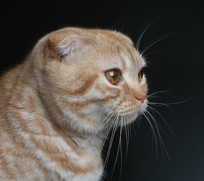 кот, британский вислоухий, Lelya