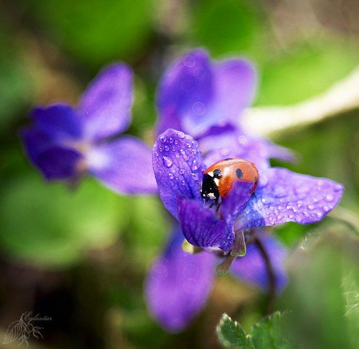 макро, цветы, божья, коровка, фиолетовый, красный, весна, Ольга Глушкова