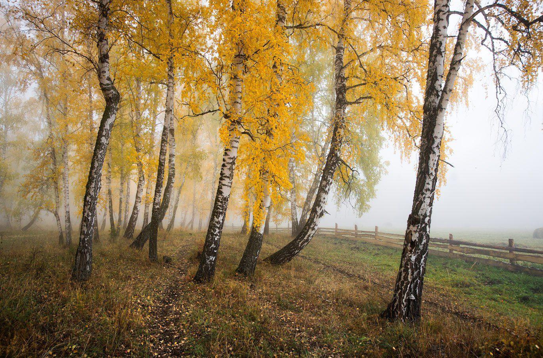 Березы, Осень, Туман, Владимир Ляпин