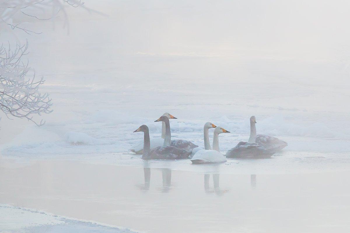 камчатка, река, зима, лебедь, Денис Будьков