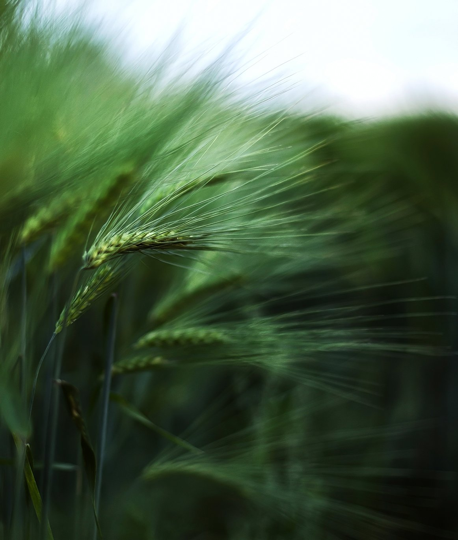 Estonia, Green, Summer, Wheat, Kljuchenkow Aleksandr