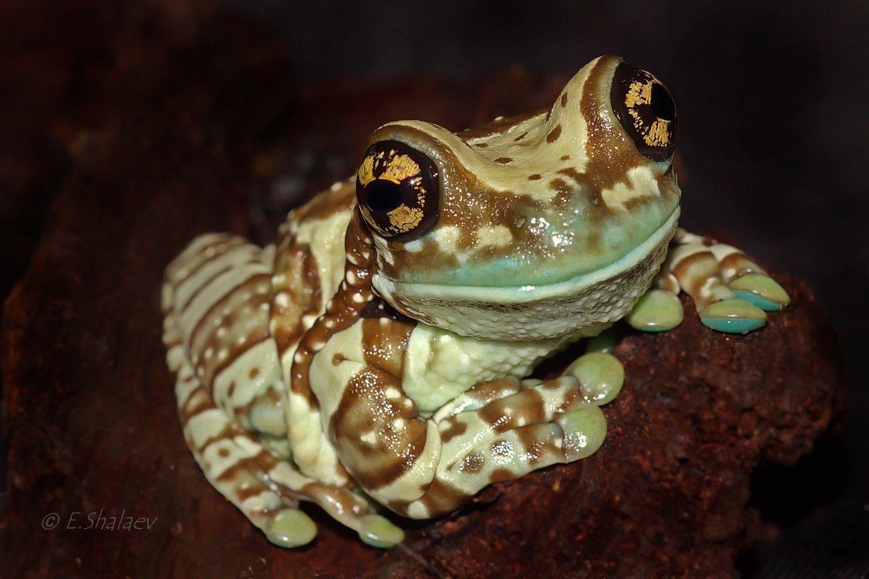 Amazon milk frog, Frog, Phrynohyas resinifictrix, Амфибии, Жабовидная квакша, Квакша, Лягушка, Евгений