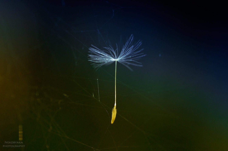 макро, семена, одуванчик, паутина, macro, seed, dandelion, spiderweb, Мамакова Анжелика