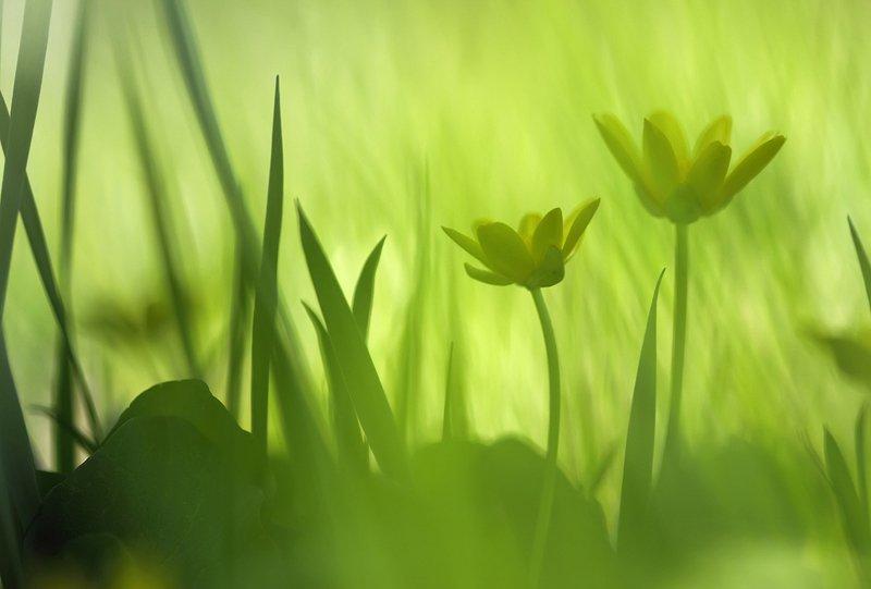 весна, дикая природа, макро, первоцветы, природа, растения, флора, цветок, цветы, Алексей Королев