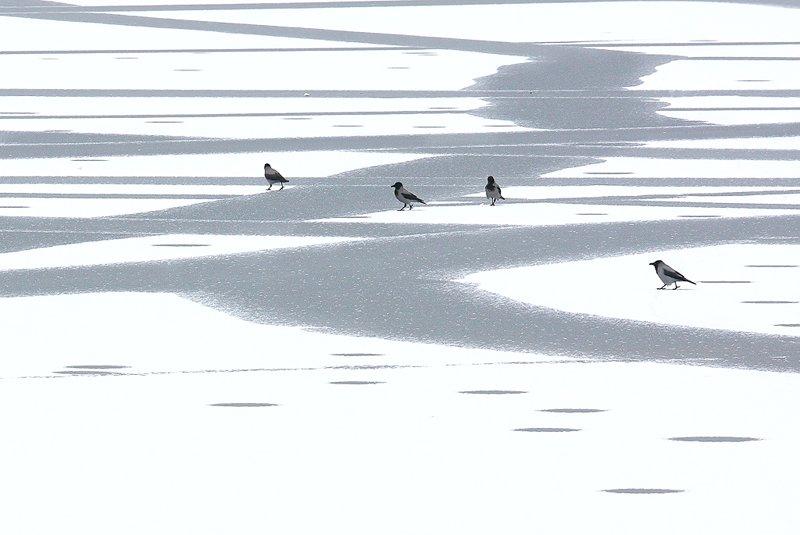ворона, вороны, зима, природа, проталины, птица, птицы, снег, Алексей Королев