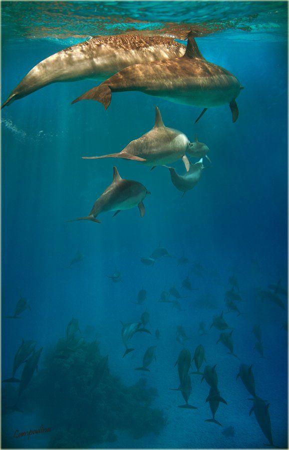 красное море , египет, дельфины, Lampadina (Svetlana Maximova)