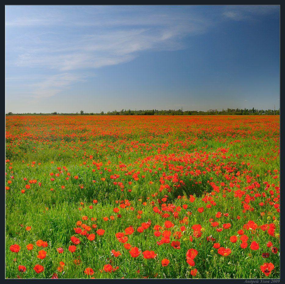 весна,поле,цветы,маки, Андрей Ухов