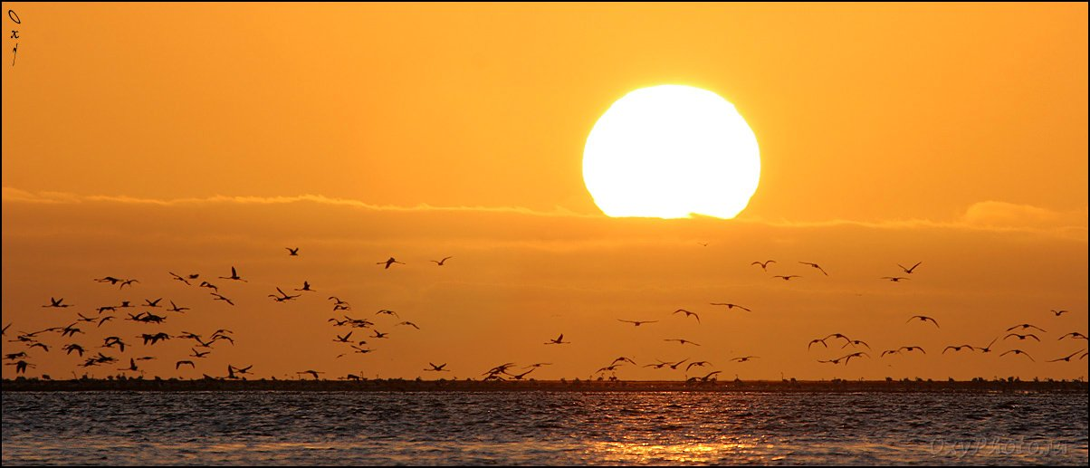 вэлвис бэй, намибия, африка, walvis bay, namibia, africa, фламинго розовый, phoenicopterus roseus, Оксана Борц