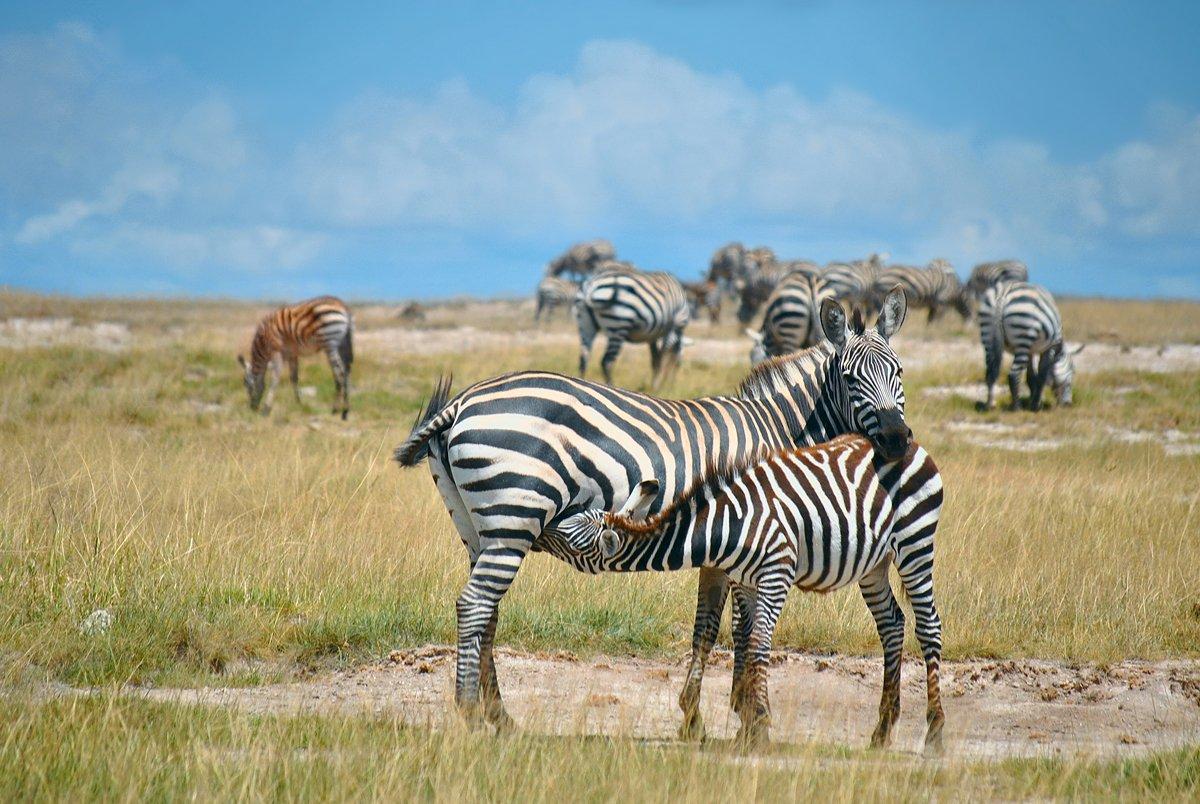 Африка, Зебры, Кения, Лошадь, Масаи мара, Саванна, Сафари, Серенгети, Танзания, Михаил Туркеев