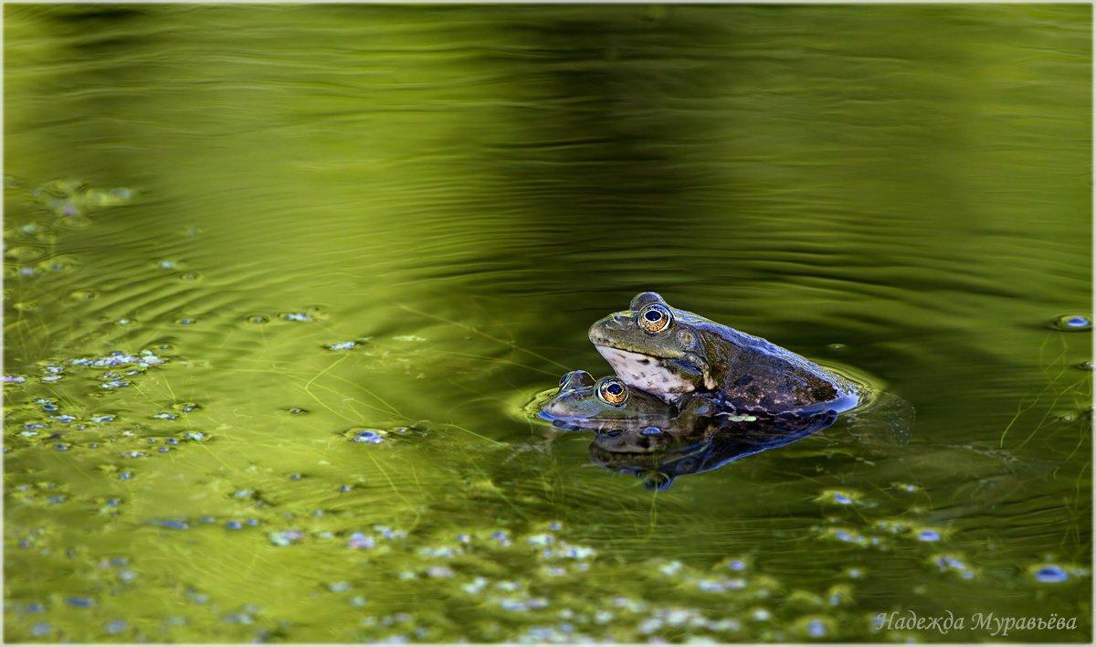 Pelophylax ridibundus, Озёрные лягушки, Надежда Муравьёва
