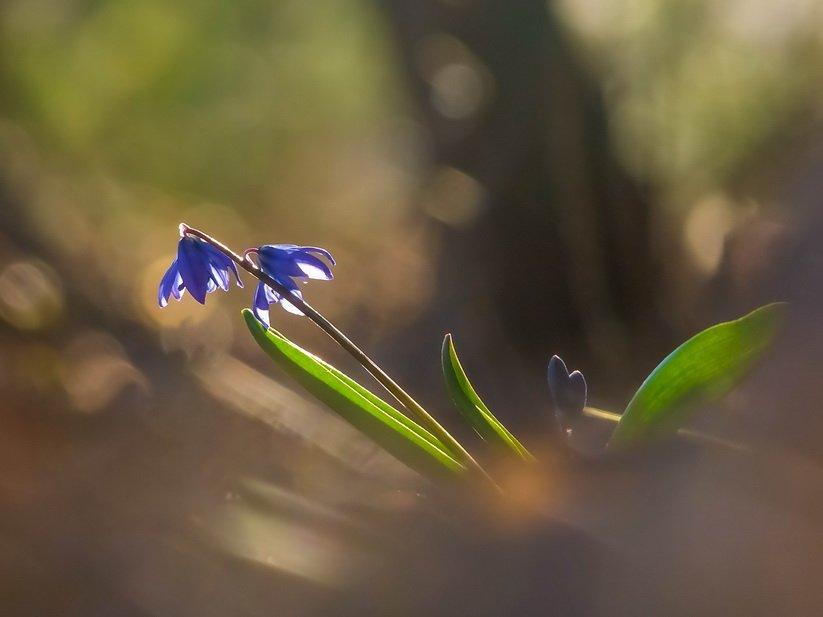 Весна, Пролески, Цветы, Марина Мищенко