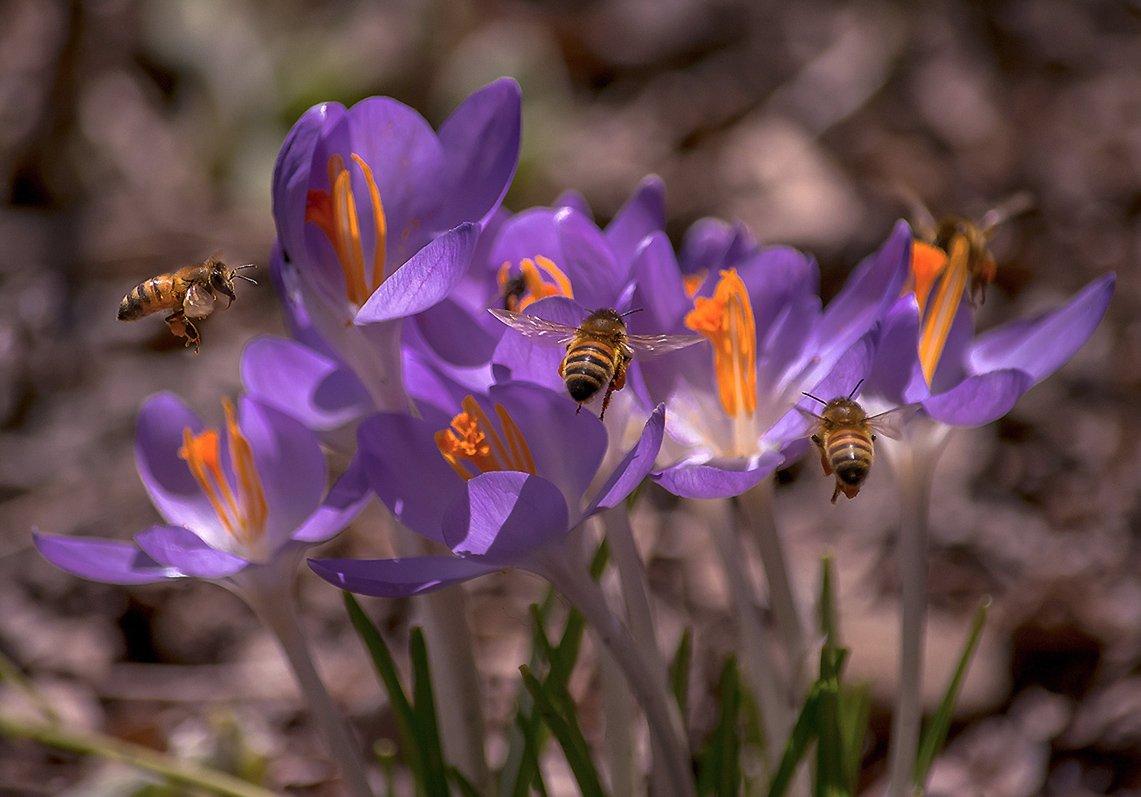 весна, макро, насекомые, природа, пчела, флора, цветы, Антонина