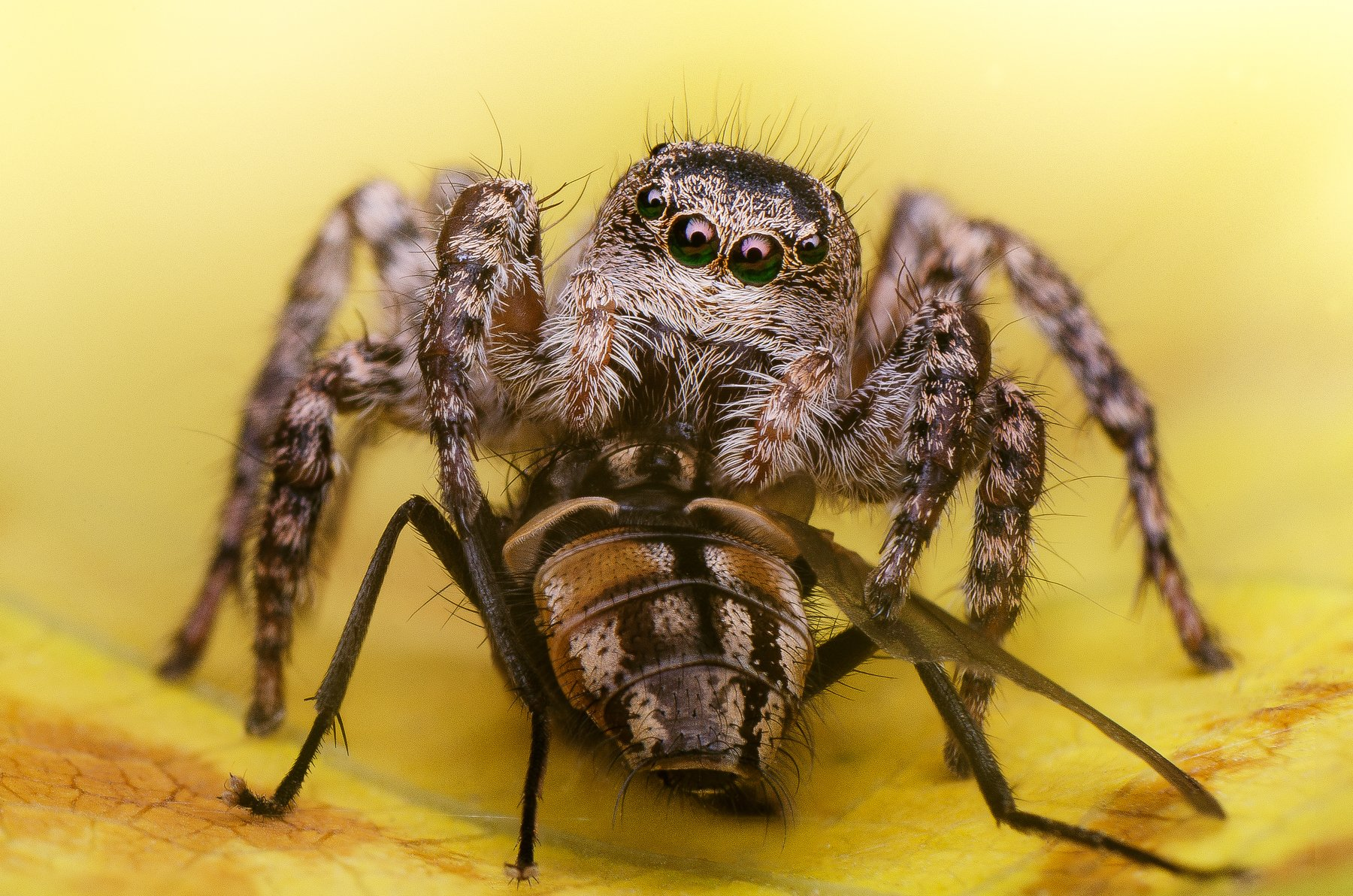 скакун паук осень муха жертва еда пища хелицеры , Ренат Тугушев